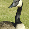 CANADA GEESE 23