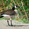 CANADA GEEESE 39<br /> Canada goose at the San Joaquion Marsh