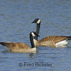 CANADA GEESE 22<br /> Geese at the San Joaquin Marsh in Irvine